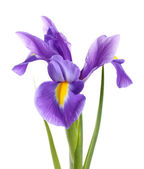 Purple iris flower, isolated on white — Stock fotografie