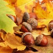 Brown acorns on autumn leaves, close up — Stock Photo #19470119