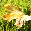 Beautiful autumn maple leaf on green grass, close up — Stock Photo #19470191