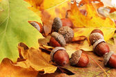 Brown acorns on autumn leaves, close up — Foto Stock