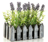 Decorative lavender in wooden box isolated on white — Stock Photo