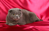 Cat on crimson cloth background — Stock Photo