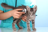 Veterinarian examining a kitten on blue background — Stock Photo