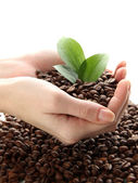 Coffee beans with leaves in hand isolated on white — Stock Photo