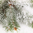 Stock Photo: Spruce covered with snow