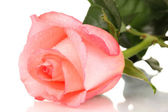 Beautiful pink rose isolated on white — Stock Photo