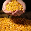 Man hands with grain, on yellow corn background — Stock Photo