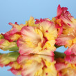 Stock Photo: Branch of yellow-pink gladiolus on blue background close-up