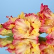 Branch of yellow-pink gladiolus on blue background close-up — Stock Photo