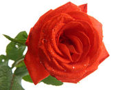 Orange rose isolated on white — Stock Photo