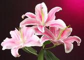 Beautiful lily, on pink background — Stock Photo