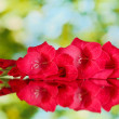 Branch of pink gladiolus on green background close-up - Stock Photo