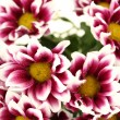 Branch of beautiful purple chrysanthemums on white background close-up - Stock Photo