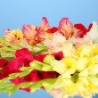 Beautiful colorful gladiolus on blue background Close-up - Stock Photo