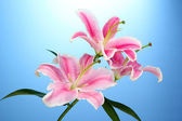 Beautiful pink lily, on blue background — Stock Photo