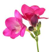 粉红色小苍兰花,白色上孤立 — 图库照片