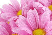 Beautiful pink chrysanthemum closeup — Stock Photo