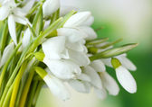 Beautiful snowdrops on green background — Stock Photo