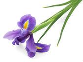 Purple iris flower, isolated on white — Stock Photo