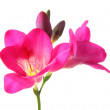 Pink freesia flower, isolated on white — Stock Photo #20056487