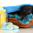 Cute puppy in basket isolated on white — Stock Photo #20165605