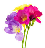 Bouquet of freesias flower, isolated on white — Stock Photo