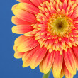 Beautiful Gerber flower on blue background — Stock Photo