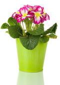 Beautiful pink primula in pail, isolated on white — Stock Photo