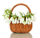 Spring snowdrop flowers in wicker basket, isolated on white — Stock Photo