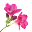 Pink freesia flower, isolated on white — Stock Photo #20663653