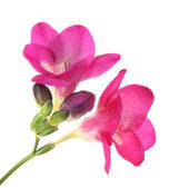 Pink freesia flower, isolated on white — Stock Photo