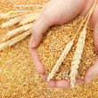 Man hands with grain, on wheat background - Stockfoto