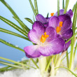 Stock Photo: Beautiful purple crocuses on snow, on blue background