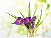 Beautiful purple crocuses on snow, on green background — Stock Photo