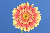 Beautiful Gerber flower on blue background — Stock Photo