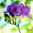 Purple freesia flower, on green background - Stock Photo