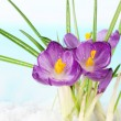 Beautiful purple crocuses on snow, on blue background — Stock Photo