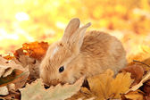Fluffy foxy rabbit on leaves in park — Stock Photo