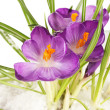 Royalty-Free Stock Photo: Beautiful purple crocuses on snow, close up