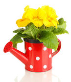Beautiful yellow primula in watering can, isolated on white — Stock Photo