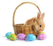 Esponjoso astuto conejo en canasta con huevos de pascua aislado en blanco — Foto de Stock