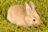 Fluffy foxy rabbit on carpet close-up — Stock Photo