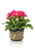 Beautiful pink primula in flowerpot, isolated on white — Stock Photo