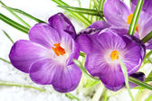 Beautiful purple crocuses on snow, close up — Stock Photo