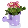 Beautiful pink primula in watering can, isolated on white — Stock Photo #21770605
