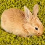 Fluffy foxy rabbit on carpet close-up — Stock Photo #21770865