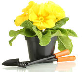 Beautiful yellow primula in flowerpot, isolated on white — Stock Photo