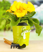 Beautiful yellow primula in flowerpot on wooden table on green background — Stock Photo