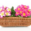 Beautiful pink primulas in basket, isolated on white — Stock Photo