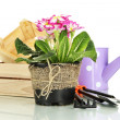 Beautiful pink primula in flowerpots and gardening tools, isolated on white — ストック写真